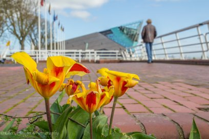 Tulips The Deep - Cheryl Jagger